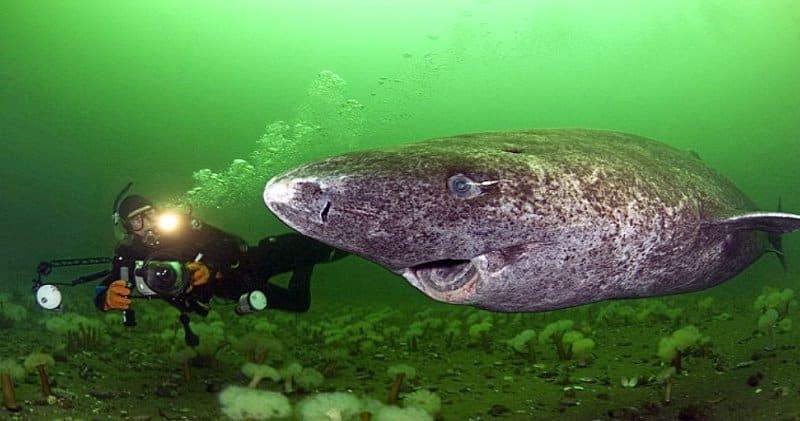 Tiburón de Groenlandia con submarinista