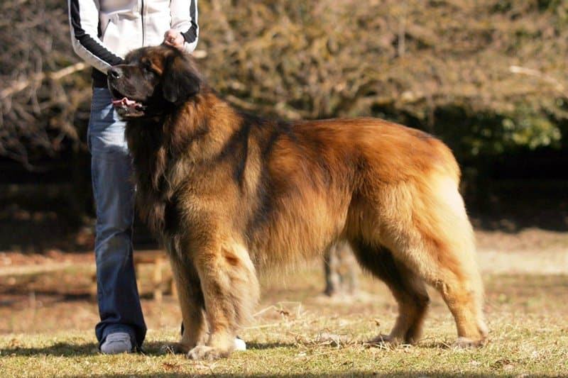 Leonberger raza de perro grande