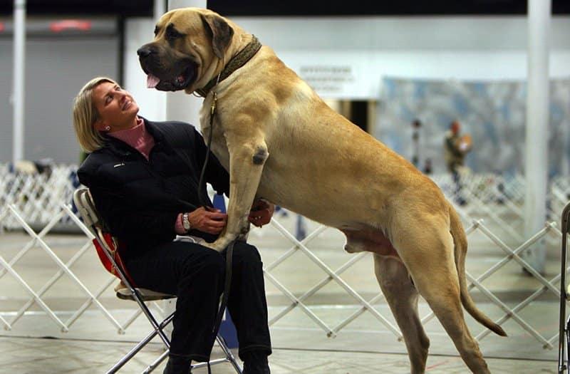 Mastín inglés raza de perro grande
